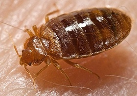 Bed bug gorged with blood